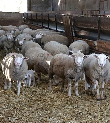 L'atelier ovins
