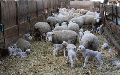 Elevage mouton legta de Crezancy